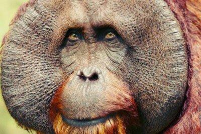 "<span itemprop=""name"">Male Orangutan Bust</span>"